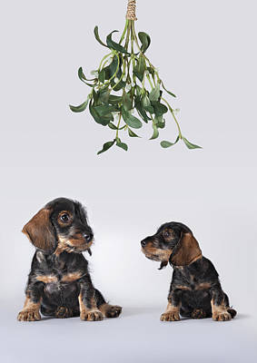 Photograph - Two Dachshund Puppies Sitting Under Mistletoe by Brand New Images