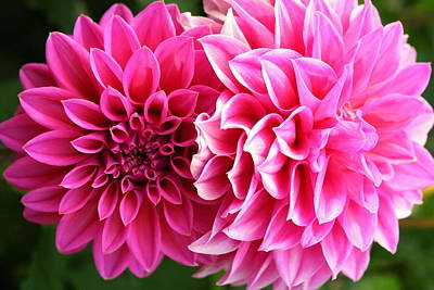 Print featuring the photograph Two Dahlias In Shades Of Pink by Laurel Talabere