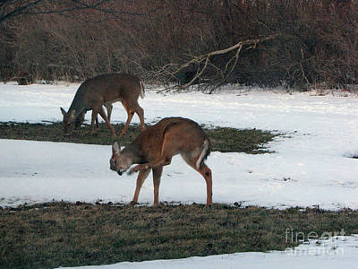 Two Deer Grazing Art Print by Cedric Hampton