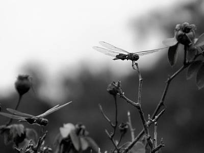 Floyd Smith Photograph - Two Dragonflies by Floyd Smith