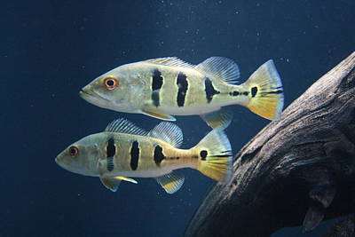 Photograph - Two Fish Not Blue Fish by Jennifer Bright