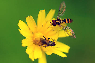 Two Flies Pollinate A Yellow Flower Art Print by Darlyne A. Murawski