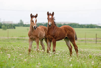 Two Foals Standing Art Print by Jim  Arnold