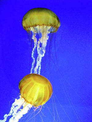 Photograph - Two Gold Jellys by Lora Fisher