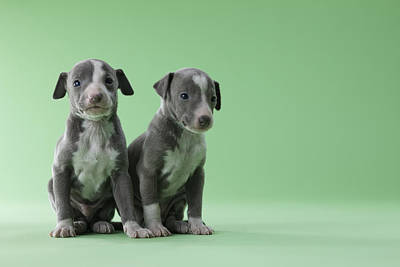 Greyhound Photograph - Two Italian Greyhound Puppies by Mixa