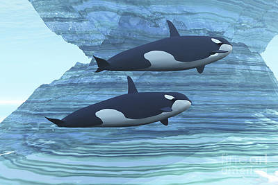 Two Killer Whales Swim Around Submerged Art Print