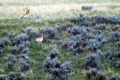 Photograph - Two Male Pronghorn by C Sitton