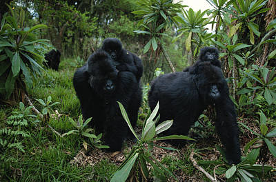 Transportation Of Goods Photograph - Two Mother Gorillas Carrying by Michael Nichols