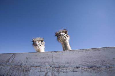 Ostrich Photograph - Two Ostrich Looking Over A Fence by John Burcham