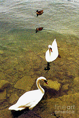 Two Pairs Of Swans And Ducks Art Print by Merton Allen