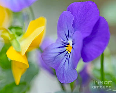 Two Pansies Ln Love Art Print