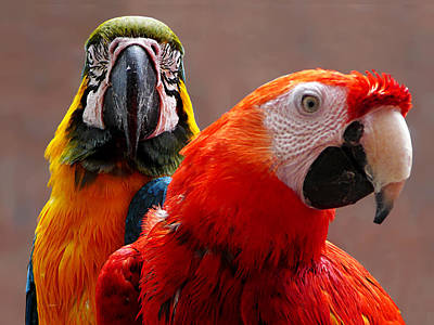 Photograph - Two Parrots Closeup by Susan Savad