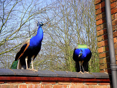 Photograph - Two Peacocks On The Wall by Roberto Alamino