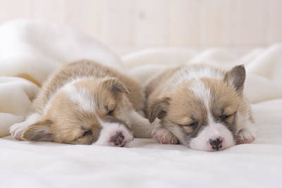 Two Pembroke Welsh Corgi Sleeping On A Blanket Art Print by Mixa