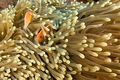 Kosrae Island Photograph - Two Pink Anemonefish Amphiprion by Tim Laman