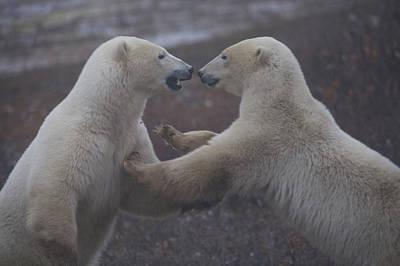 Two Polar Bears Spar Playfully Art Print by Taylor S. Kennedy