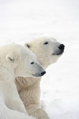 Two Polar Bears Ursus Maritimus Showing Print by Richard Wear