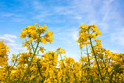 Photograph - Two Rapeseed Canolas by Semmick Photo