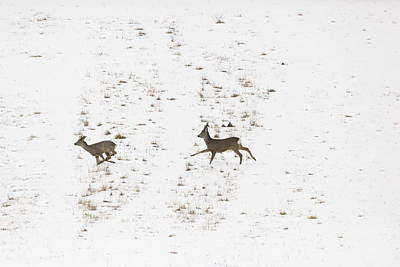 Colorful Button - Two roe deer running on snow by Ulrich Kunst And Bettina Scheidulin