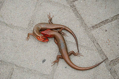 Digital Art - Two Skinks Are Fighting by Eva Kaufman