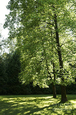 Photograph - Two Sunlit Trees by John  Mitchell