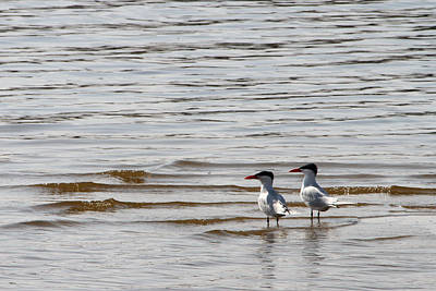 Photograph - Two Terns by Mark J Seefeldt