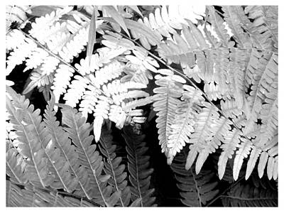 Photograph - Two Tone Fern by Frank Wickham