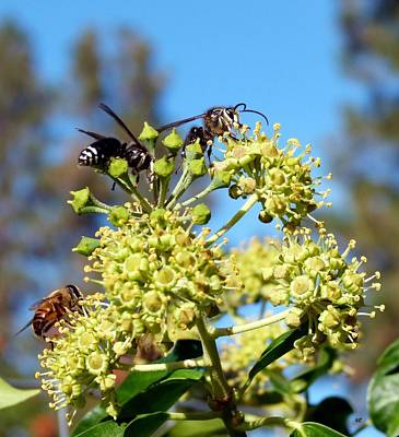 Photograph - Two Wasps And A Bee by Will Borden