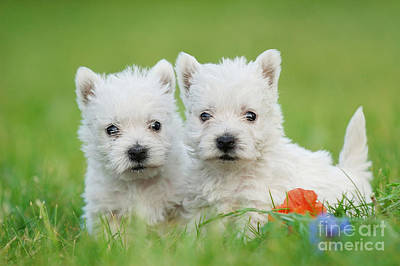 Two West Highland White Terrier Puppies Portrait Print by Waldek Dabrowski