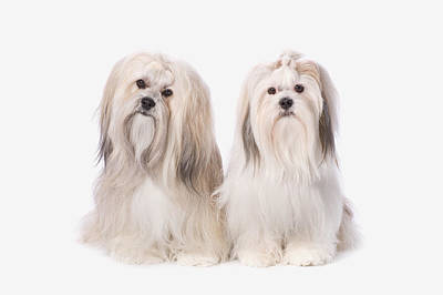 Two White Lhasa Apso Puppies St. Albert Art Print by Corey Hochachka