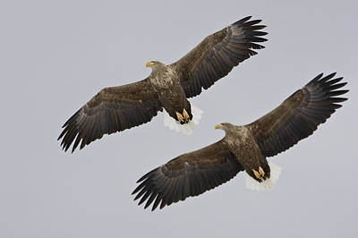 Two White-tailed Eagles In Flight Side Art Print by Roy Toft