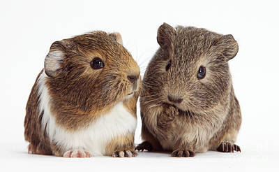 House Pet Photograph - Two Young Guinea Pigs by Mark Taylor