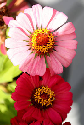 Art Print featuring the photograph Two Zinnias In The Shade by Paula Tohline Calhoun