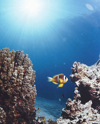 Clown Fish Photograph - Twoband Anemonefish by Peter Scoones