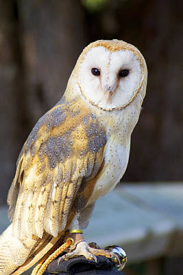 Photograph - Tyto The Barn Owl by Julius Reque