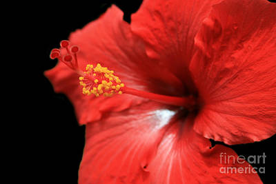 Photograph - Ula Aloalo Hanohano For A Tropical State Of Mind Red Hibiscus by Sharon Mau