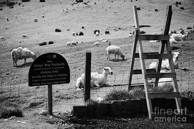 Ulster Way Footpath Wooden Stile And Flock Of Part Shorn Sheep In Fields In County Antrim Ireland Art Print by Joe Fox
