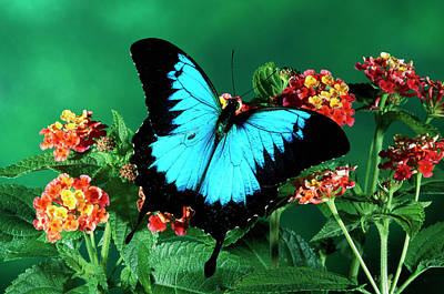 Blue Swallowtail Photograph - Ulysses Butterfly Papilio Ulysses by Michael & Patricia Fogden