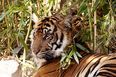The Tiger Hunt Photograph - Under The Watchful Eye Of The Tiger by Lindy Spencer