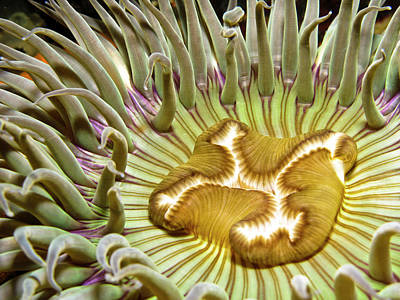 Sea Anemone Photograph - Under Water Anemone by Lucidio Studio, Inc.