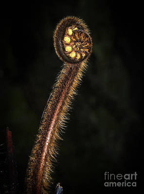Photograph - Unfolding Fern Frond by Fran Woods