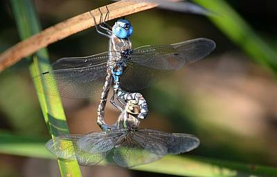 Dragonflies Mating Photograph - Unity by Fraida Gutovich