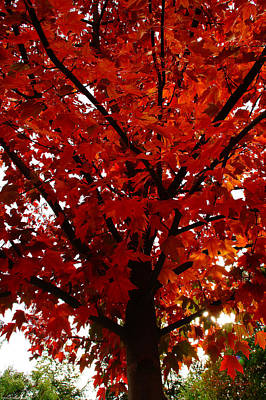 Color Photograph - Up The Red Maple Tree by Mick Anderson