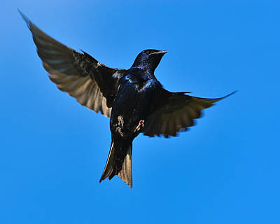 Swallow Photograph - Up by Tony Beck