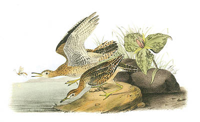 North Sea Painting - Upland Sandpiper by John James Audubon