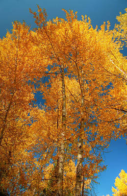 Photograph - Upward Golden Aspens by Ken Smith