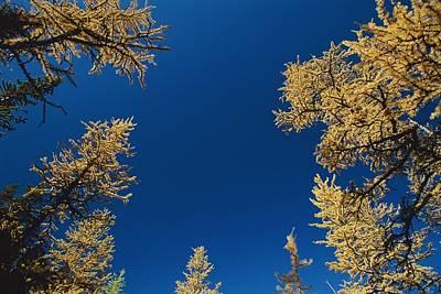 Upward View Of Blue Sky And Conifer Art Print by Raymond Gehman