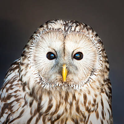 Owls Photograph - Ural Owl by Tom Gowanlock