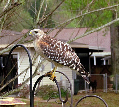 Photograph - Urban Red Shouldered Hawk by Judy Wanamaker