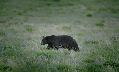 Photograph - Ursus Americanus by Don Wolf